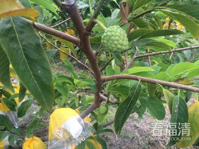 """被誉为""""最甜水果"""",南方大量种植,北方却少人吃过,如今正当季 ..."""