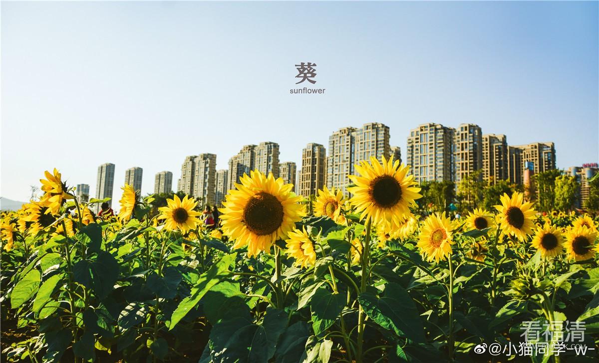 福清市民休闲公园的向日葵也太美了吧~