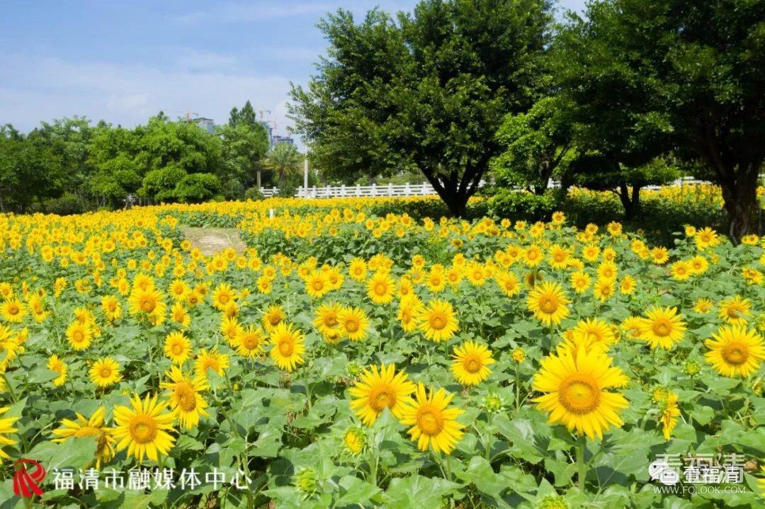 龙江公园1万平向日葵花开正当时!约起